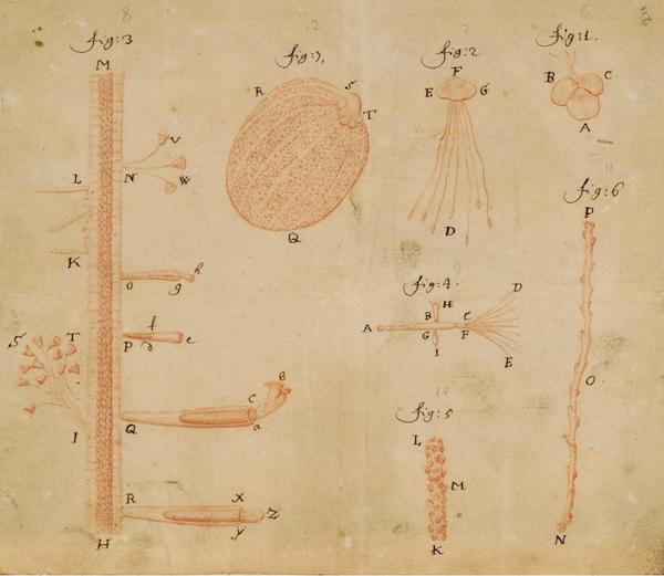 Leeuwenhoek_red-chalk_duck-weed